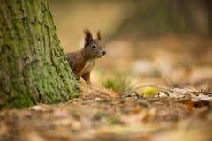 wiewiórka Wiewiórka fotografowali w republika czech Wiewiórka jest średniej wielkości ślepuszonką obraz royalty free