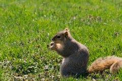 wiewiórka głodna Zdjęcie Stock