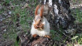 wiewiórka głodna zdjęcie wideo