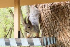 Wiewiórka i dozownik przy miasto lasu parkiem, żywieniowi dzikie zwierzęta przy miastem Moskwa Obrazy Royalty Free