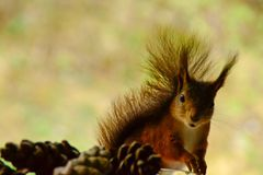 Wiewiórka i pinecone Obrazy Stock