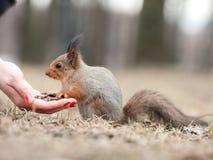Wiewiórka i ręka Zdjęcia Stock