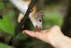 Wiewiórka je dokrętki Fotografia Stock