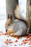 Wiewiórka je dokrętki Obraz Stock