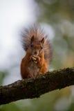 Wiewiórka je dokrętki na drzewie Fotografia Royalty Free