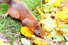 Wiewiórka je dokrętki w autunm Obrazy Stock