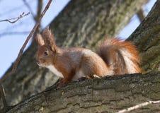 Wiewiórka je na drzewie Obrazy Royalty Free