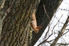 Wiewiórka je na drzewie Fotografia Royalty Free