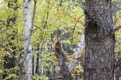 Wiewiórka je pieczarki Obrazy Royalty Free