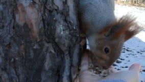 Wiewiórka je słonecznikowych ziarna od ręki zdjęcie wideo