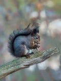 wiewiórka jedzenia Zdjęcie Royalty Free