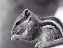 wiewiórka jedzenia Obrazy Royalty Free
