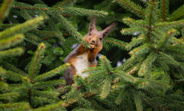 wiewiórka jedzenia Zdjęcie Stock