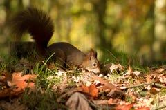 Wiewiórka, jesień, dokrętka i suszy liście Zdjęcie Royalty Free