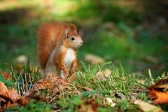Wiewiórka, jesień, dokrętka i suszy liście Obrazy Royalty Free