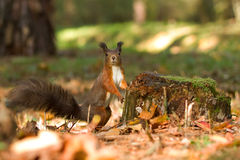 Wiewiórka, jesień, dokrętka i suszy liście Zdjęcia Royalty Free