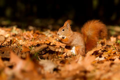 Wiewiórka, jesień, dokrętka i suszy liście Obraz Stock