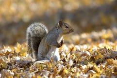 wiewiórka jesienią obraz royalty free