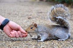 Wiewiórka jest ręką karmił arachid w parku Fotografia Stock