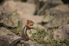 Wiewiórka jest statywowa na skale, je obraz stock