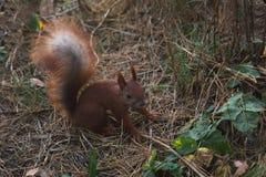 Wiewiórka - ślepuszonka wiewiórcza rodzina Zdjęcie Royalty Free