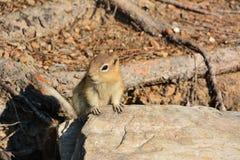 Wiewiórka, Minnewanka Banff jeziorny park narodowy Fotografia Stock