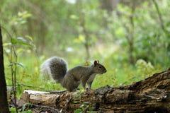 Wiewiórka na beli Zdjęcie Royalty Free