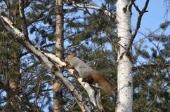 Wiewiórka na brzozie Zdjęcie Royalty Free