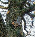 Wiewiórka na dębie Zdjęcie Stock