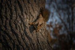 Wiewiórka na dębowym drzewie fotografia stock