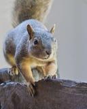 Wiewiórka Na drewna ogrodzeniu Obrazy Royalty Free