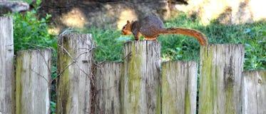 Wiewiórka na drewnianej płotowej poczta w Kansas Obrazy Stock