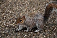 Wiewiórka na drodze Obraz Stock