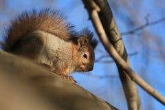 Wiewiórka na drzewie Zdjęcia Stock