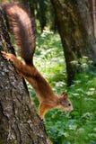 Wiewiórka na drzewie Obrazy Royalty Free