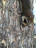 Wiewiórka na drzewie fotografia royalty free