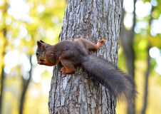 Wiewiórka na drzewie Obraz Stock