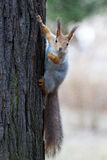Wiewiórka na drzewie Zdjęcie Royalty Free