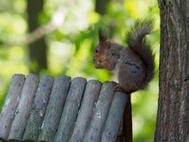 Wiewiórka na drzewie je Zdjęcia Stock