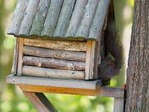 Wiewiórka na drzewie je Obraz Royalty Free