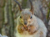 Wiewiórka na drzewie je Fotografia Royalty Free