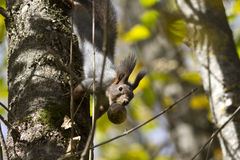 Wiewiórka na drzewie który trzyma owoc orzech włoski w Zdjęcia Royalty Free