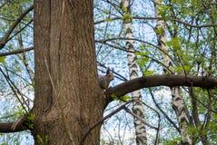Wiewiórka na drzewie przy miasto lasu parkiem, żywieniowi dzikie zwierzęta przy miastem Moskwa Fotografia Stock