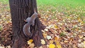 Wiewiórka na drzewie przy parkiem Obrazy Stock