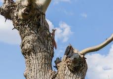 Wiewiórka na drzewie fotografia stock