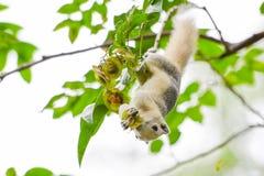 Wiewiórka na drzewie w Bangkok Fotografia Royalty Free