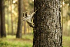 Wiewiórka na drzewie w sosnowym drewnie Zdjęcie Stock