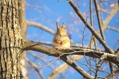 Wiewiórka na drzewie w swój oryginalnej pozyci Fotografia Royalty Free