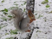 Wiewiórka na drzewie w zimie Obraz Royalty Free