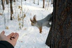 Wiewiórka na drzewnej i ludzkiej ` s ręce z dokrętkami Obraz Royalty Free